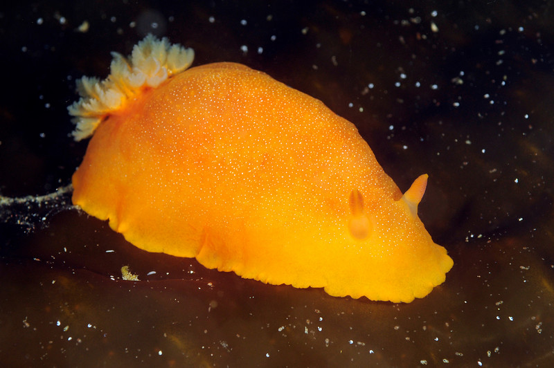 Doriopsilla (?) ID needed.<br /> Catalina Island, California