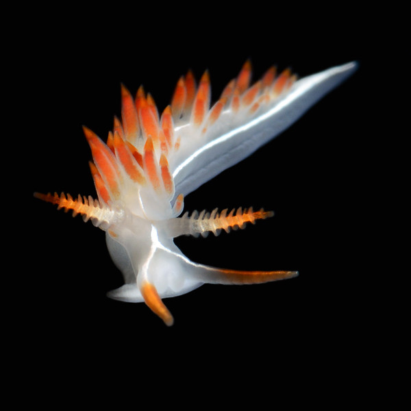 Flabellina trilineata