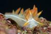 Flabellina trilineata, Three-lined Aeolid<br /> The Barge, Redondo Beach, California