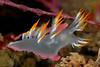 Dendronotus albus, White Dendronotus<br /> Point Loma, California