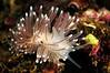 Cuthona nana (previously Cuthona divae).<br /> Hawthorne Reef, Palos Verdes, California