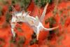 Flabellina trilineata, juvenile<br /> Merry's Reef, Palos Verdes, California