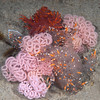 Dendronotus iris, Rainbow Dendronotus, mating and laying eggs<br /> La Jolla Shores, California