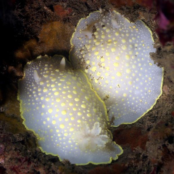 Cadlina luteomarginata, Yellow-edged Cadlina<br /> Point Loma, California
