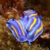 Felimare porterae<br /> Kevin's Reef, Palos Verdes, California