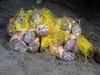 Bulla gouldiana, Gould's Bubble Snails, mating and laying eggs<br /> La Jolla Shores, California