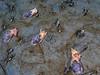 Bulla gouldiana, Gould's Bubble Snails<br /> La Jolla Shores, California