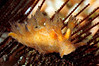"Dendronotus venustes, Branched Dendronotus, formerly Dendronotus frondosus. (?)<br /> ""The Pipe"", El Segundo, California"