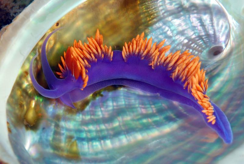 Flabellinopsis iodinea, Spanish Shawl, formerly Flabellina iodinea, inside an abalone shell