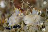 Ancula gibbosa<br /> Palos Verdes, California