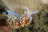 Hermissenda opalescens, Horned Aeolid