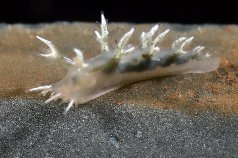 Dendronotus venustes, juvenile likely.<br /> Pt. Vincente, Little Reef, Palos Verdes, California