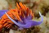 Flabellinopsis iodinea, Spanish Shawl, formerly Flabellina iodinea, without fiber optic snoot.<br /> The Barge, Redondo Beach, California