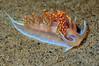 Hermissenda opalescens, Horned Aeolid<br /> La Jolla Shores, California
