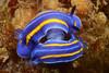 Felimare porterae, mating<br /> Little Reed, Pt. Vicente, Palos Verdes, California