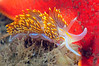 Hermissenda opalescens<br /> Morro Bay, California