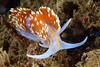 Hermissenda opalescens<br /> Kevin's Reef, Palos Verdes, California