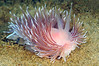 Cumanotus sp.<br /> La Jolla Shores, California