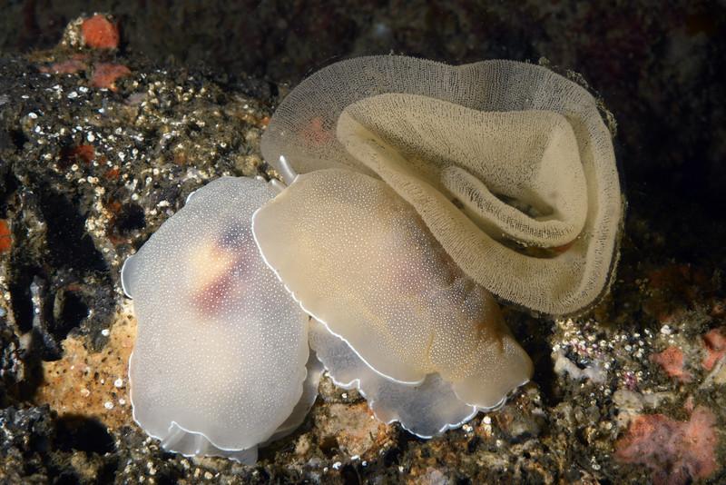Berthella californica, with eggs<br /> Golf Ball Reef, Redondo Beach, California
