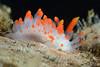 Limacia mcdonaldi<br /> Kevin's Reef, Palos Verdes, California