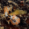 Flabellina trilineata, Three lined Aeolid, with flatworm