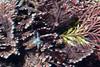 Algae: Serraticardia macmillanii (?), with nudibranch bycatch.<br /> Break Wall, King Harbor, Redondo Beach, California