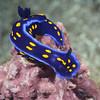 Felimare californiensis<br /> Big Fisherman's Cove, Catalina Island, USA