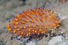 Antiopella barbarensis, formerly Janolus barbarensis<br /> Morro Bay, California