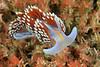 Hermissenda crassicornis<br /> Pt. Vicente, Palos Verdes, California