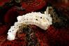 Aegires albopunctata, White-spotted Dorid<br /> Morro Bay, California