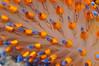 Janolus barbarensis, Santa Barbara Janolus, detail of cerata<br /> Morro Bay, California