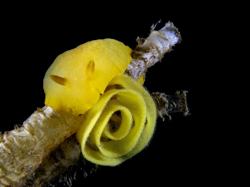 Doriopsilla albopunctata, White-spotted Dorid, laying eggs<br /> La Jolla Shores, California