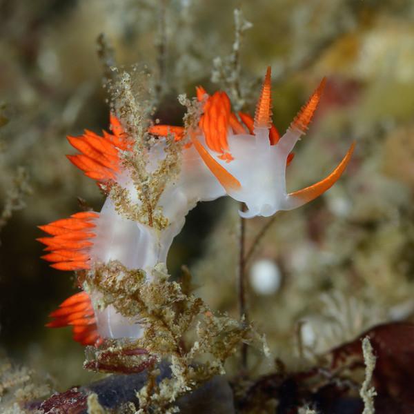 Flabellina trilineata<br /> Albert's Pinnacle, Catalina Island, California