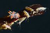 Amphipods & Flabellina trilineata <br /> Golf Ball Reef, Redondo Beach, California
