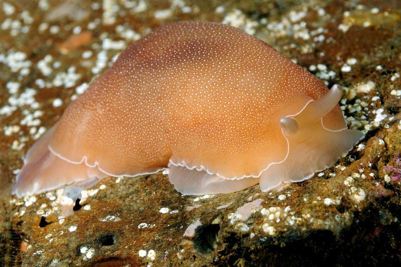 Berthella californica, California Sidegill<br /> Xmas Tree Reef, Palos Verdes, California