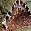 Aplysia californica, California Sea Hare<br /> La Jolla Shore, California