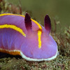 Felimida macfarlandi, MacFarland's Chromodorid; previously, Chromodoris macfarlandi.<br /> Golf Ball Reef, Redondo Beach, California