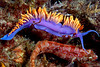 Flabellina iodinea, Spanish Shawl, with Island Kelpfish buddy