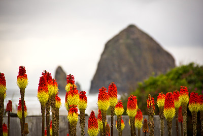 Red Hot Pokers at Haystack Rock