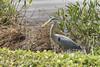 Great Blue Heron<br /> (Ardea herodias)<br /> Orlando, Fllorida