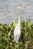 Great Blue Heron<br /> (Ardea herodias)<br /> Orlando, Fllorida