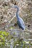 Little Blue Heron<br /> (Egretta caerulea)<br /> Orlando, Fllorida