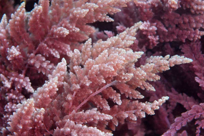 Algae: Asparagopsis (?) or Plocamium cartilagineum, a red coralline algae (?)<br /> Catalina