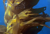 Macrocystis pyrifera, Giant Kelp<br /> Palos Verdes, California