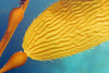 Macrocystis pyrifera, Giant Kelp<br /> Merry's Reef, Palos Verdes, California