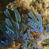 Algae: Dictyota coriacea<br /> Christmas Tree Reef, Palos Verdes, California