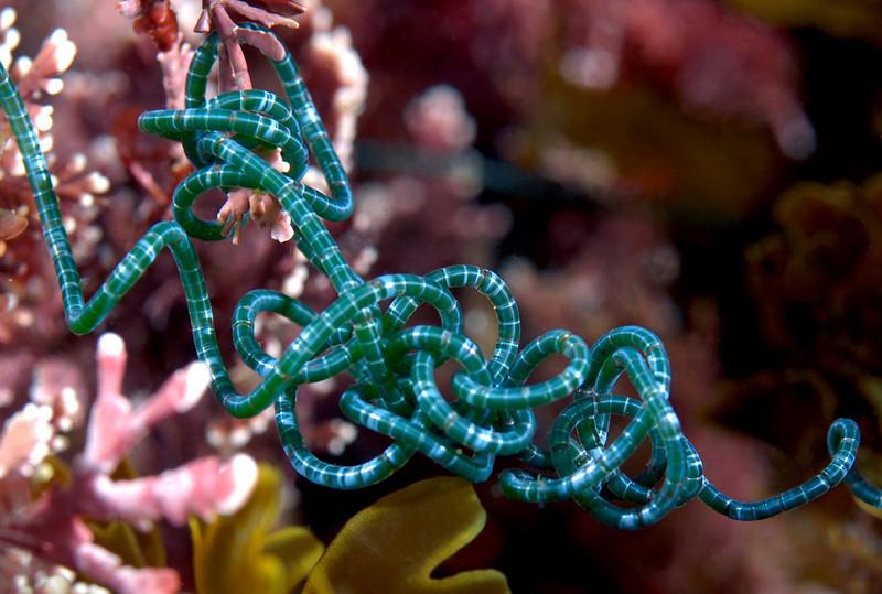 Spiralis chaetomorpha