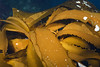 Pterygophora california (?)<br /> Albert's Pinnacle, Catalina Island, California