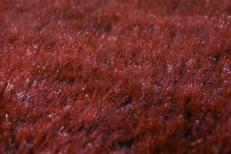 Algae bed for Garibaldi eggs.  This is soft as velvet.<br /> The Crane, Redondo Beach, California