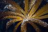 "Eisenia arborea, Southern Sea Palm<br /> ""Craggy"" Reef, Palos Verdes, California"